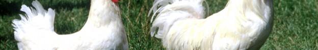 Nel nostro cortile girano le galline